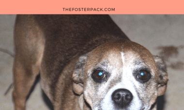 Lucy is looking for the perfect lap! 10 yr old Puggle Belington, WV