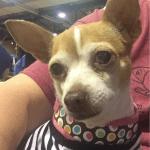 Baby 10 yr old Chihuahua