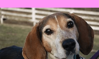 Gracie, 6 yr Coonhound