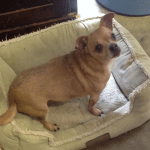 Pixie, 12 yr old Chihuahua Mix