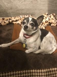Skippy, 15 yr old Chihuahua