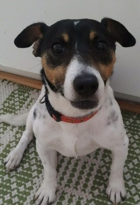 Isabelle, 12 yr old Jack Russell Terrier, is looking for a home of her very own!