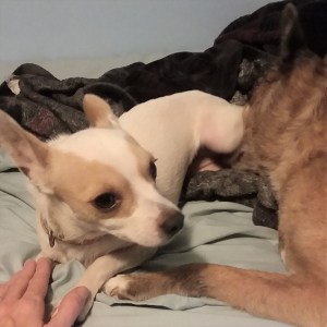 Rebecca, 3 year old Chihuahua, meeting Lewy, 11 yr old Spitz Mix