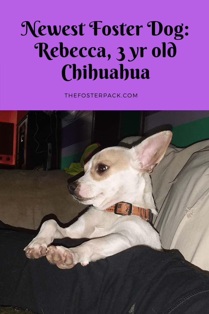 Newest Foster Dog: Rebecca, 3 yr old Chihuahua