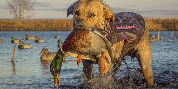North Dakota Grizzle Hunting Dog
