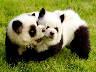 panda-puppy-dyed