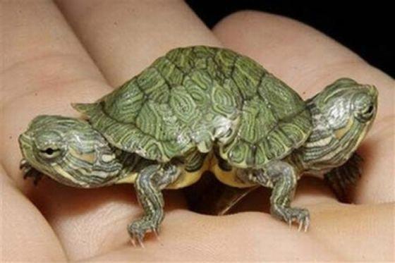 tortoise two heads bizarre