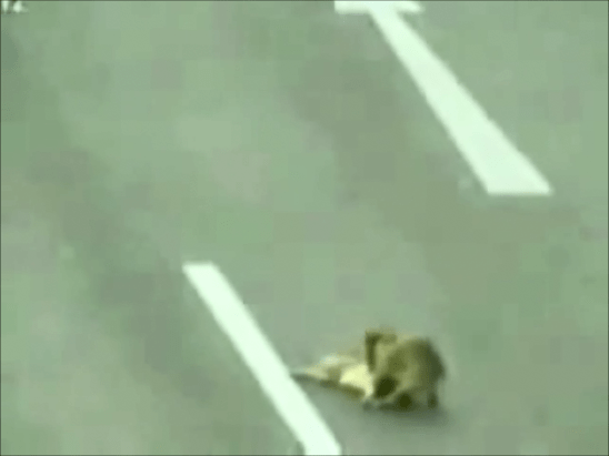 Hero Dog Rescues Injured Dog on Highway