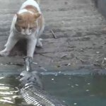 Cat slaps crocodile