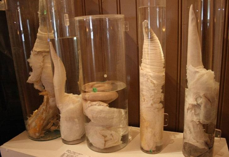 Some of the penises on display.