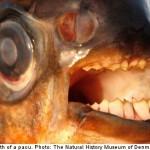 Testicle Eating Fish Warning
