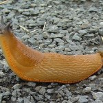 Slug stuck in vagina