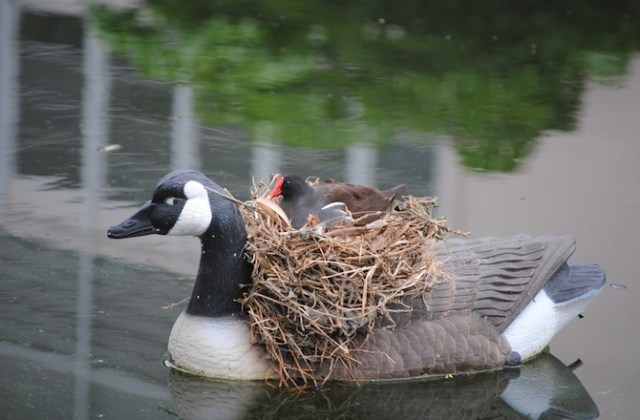 COMMON MOORHEN NEST ON A GOOSE FIGURINE, FLORIDA