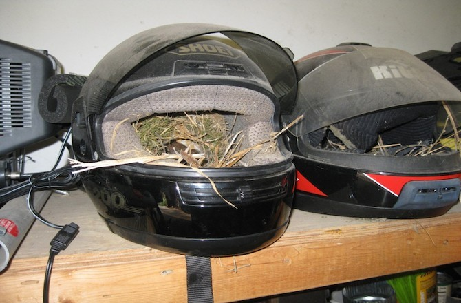 BIRDS NEST IN MOTORCYCLE HELMETS, NEW YORK