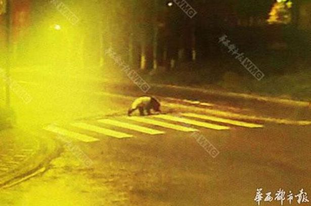 Streetwise Panda Crosses Road