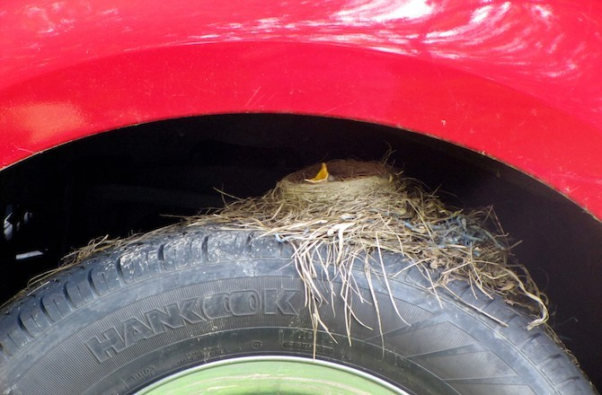 AMERICAN ROBIN NESTING ON A TRUCK TIRE, PENNSYLVANIA