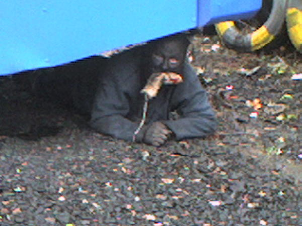 catman greenock rat