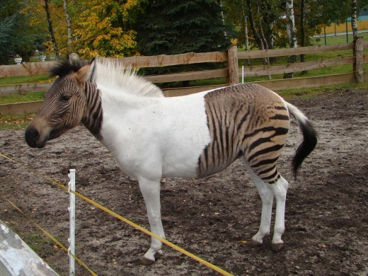 animal hybrid zebra horse