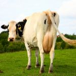 Seaweed cow farts could save the planet