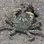 Crabs on Prozac Are Killing Each Other