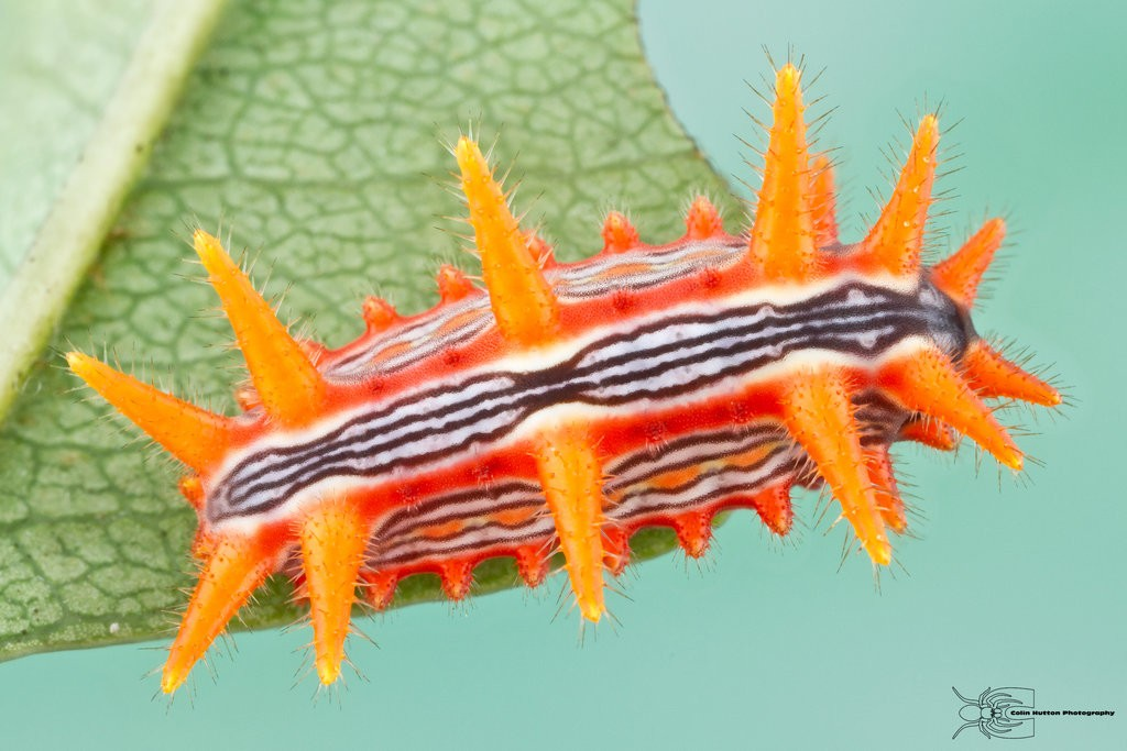 Crazy Looking Caterpillars of the USA