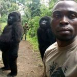 The gorillas who stand up like humans