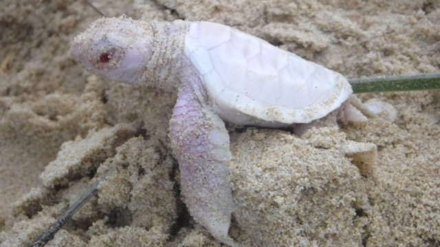 albino turtle on beach