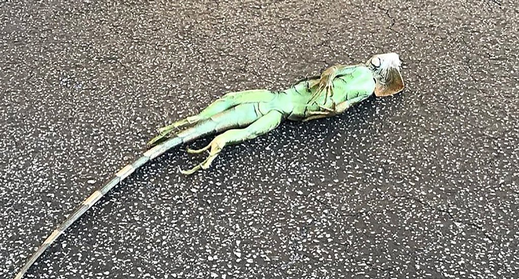 iguana florida weird news