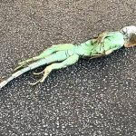 Frozen Iguanas Fall from Trees in Florida