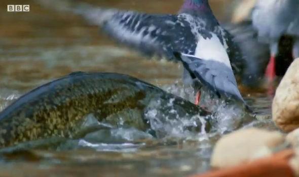 fish attacks bird