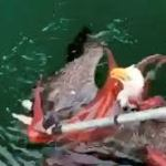 Octopus and Eagle Fight (Video)
