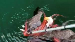 octopus and eagle video