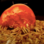 10,000 mealworms devour fruit and veg (video)