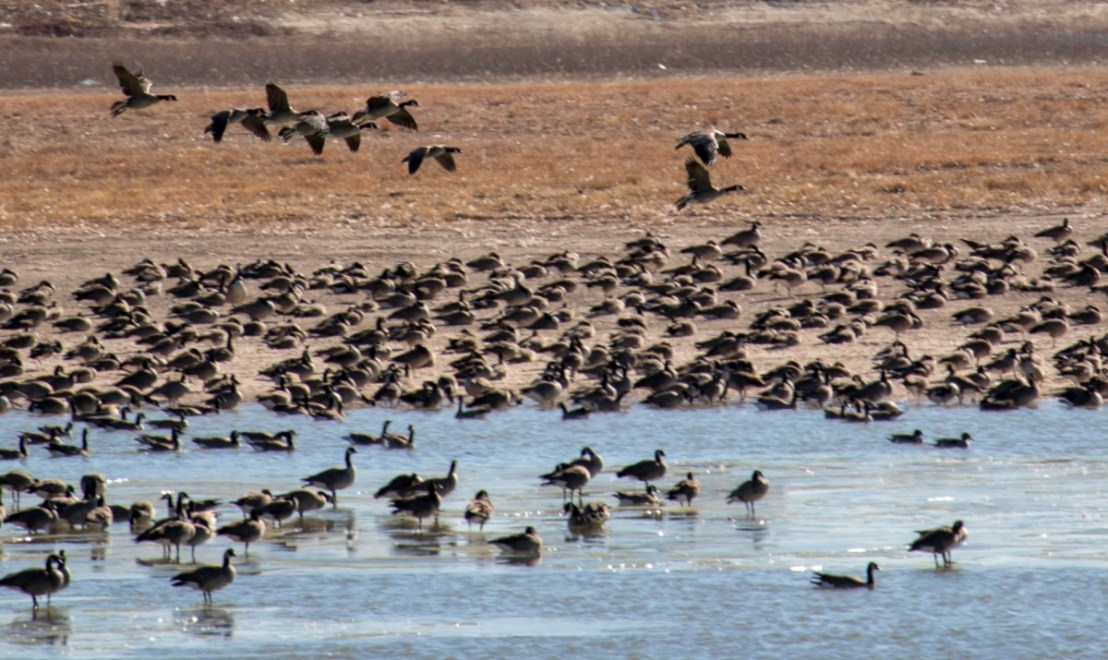Canadian Geese at McAlister Park in Lubbock Texas