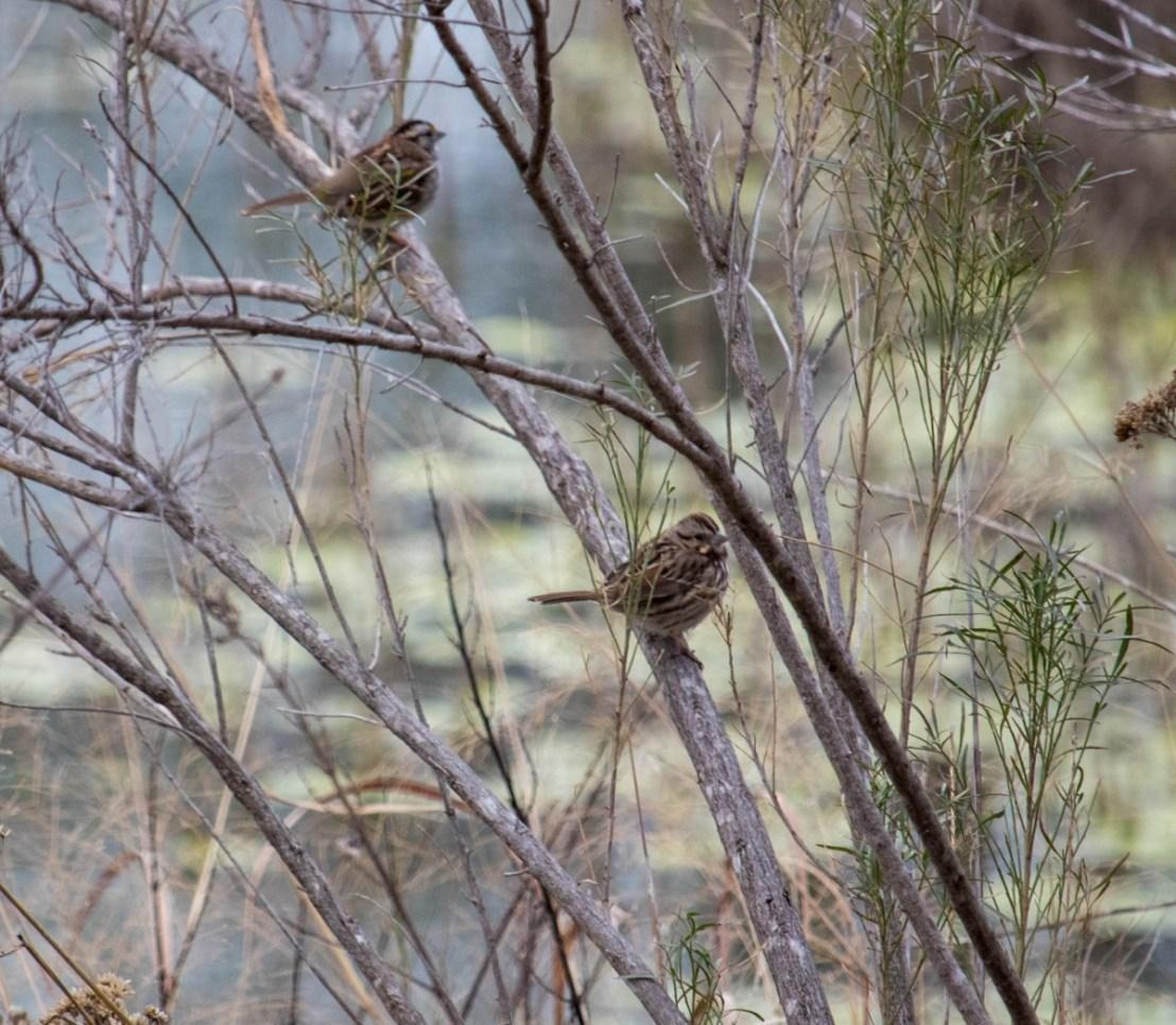 Chickadees in Brush Along South Llano River