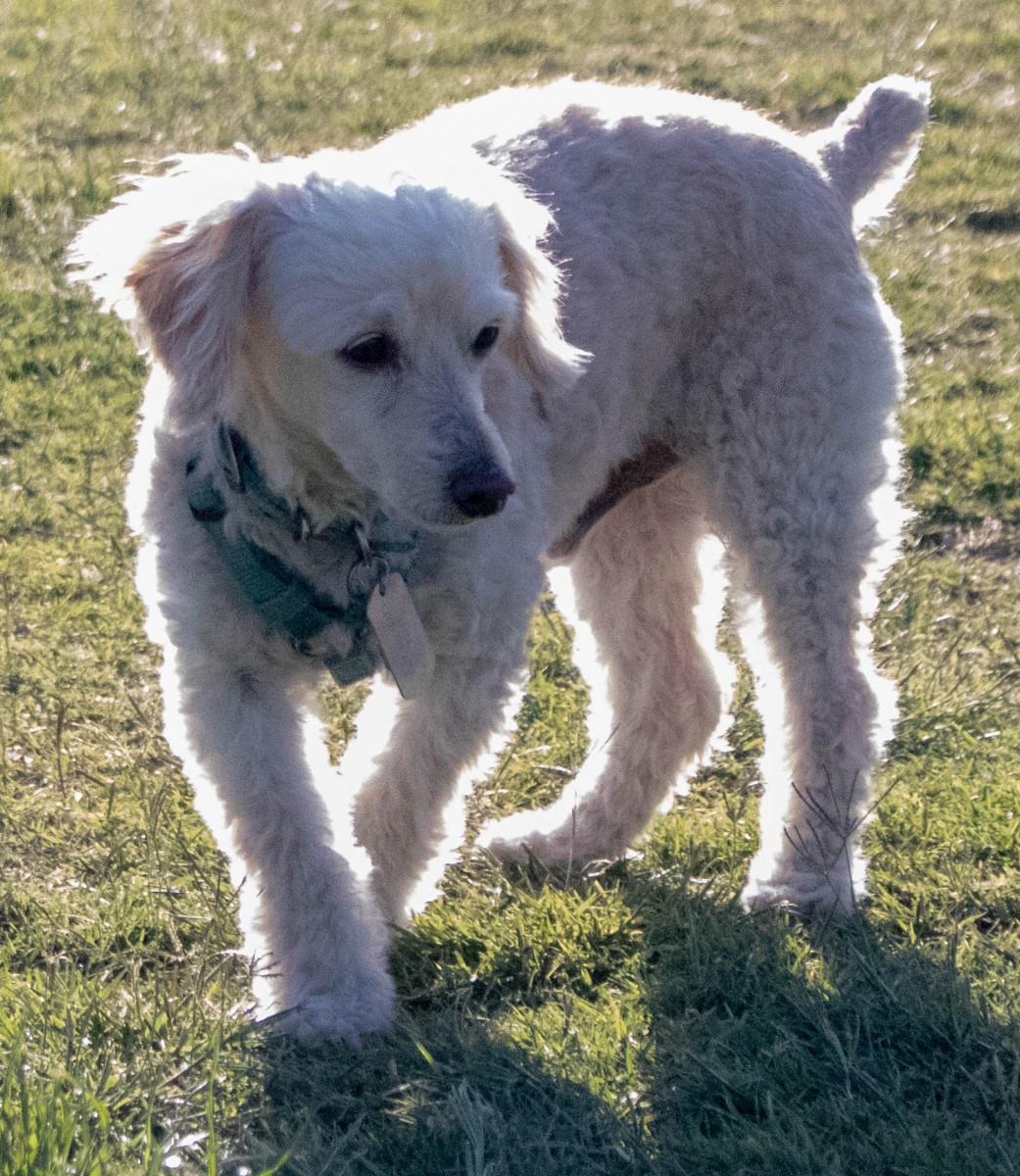 Benji in Dog Park at Fort Stockton RV Park