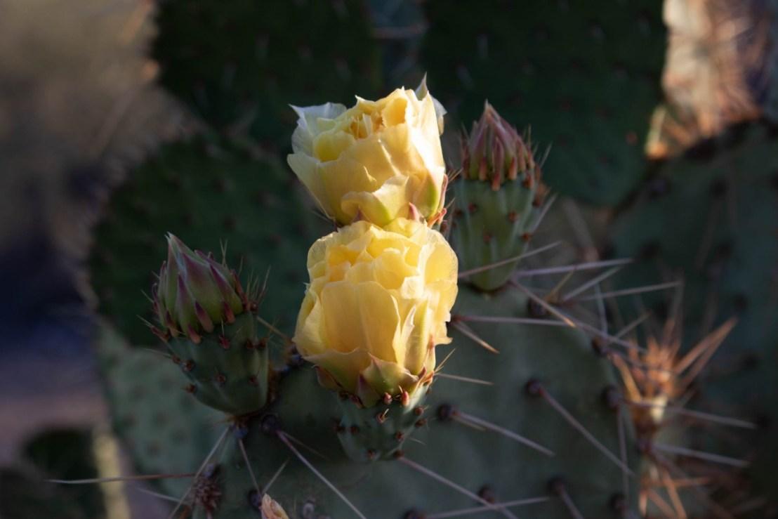 Prickly Pear Cactus Blooms