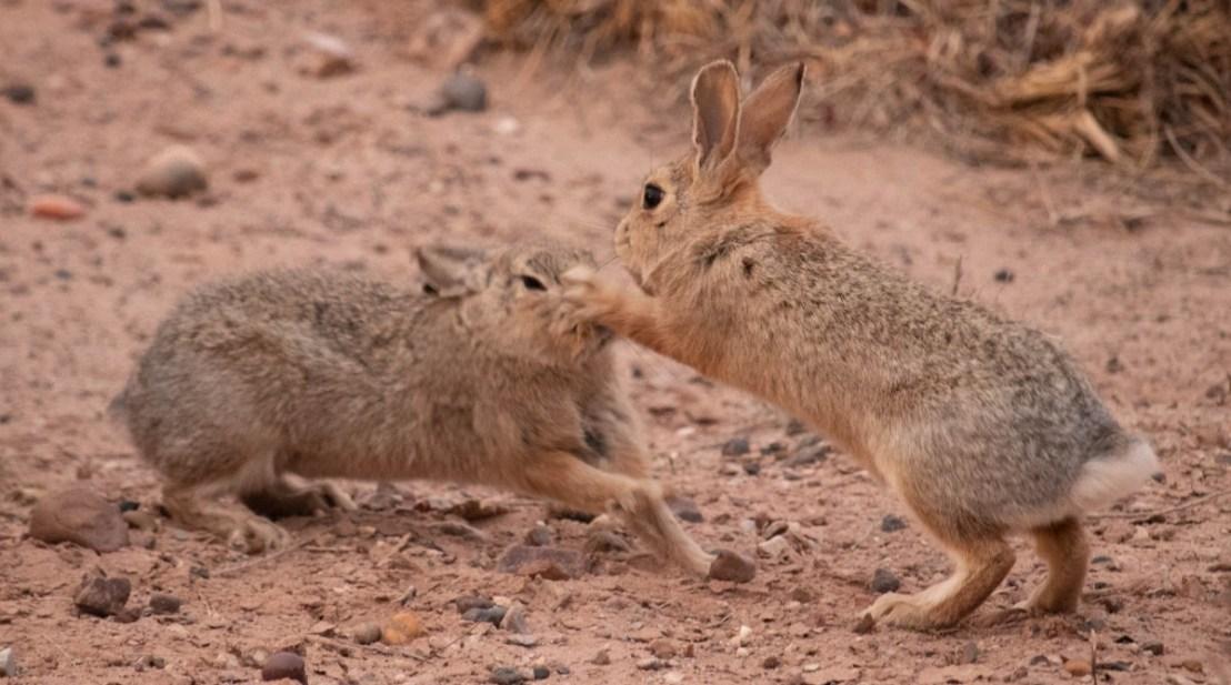 Rabbits Tussling