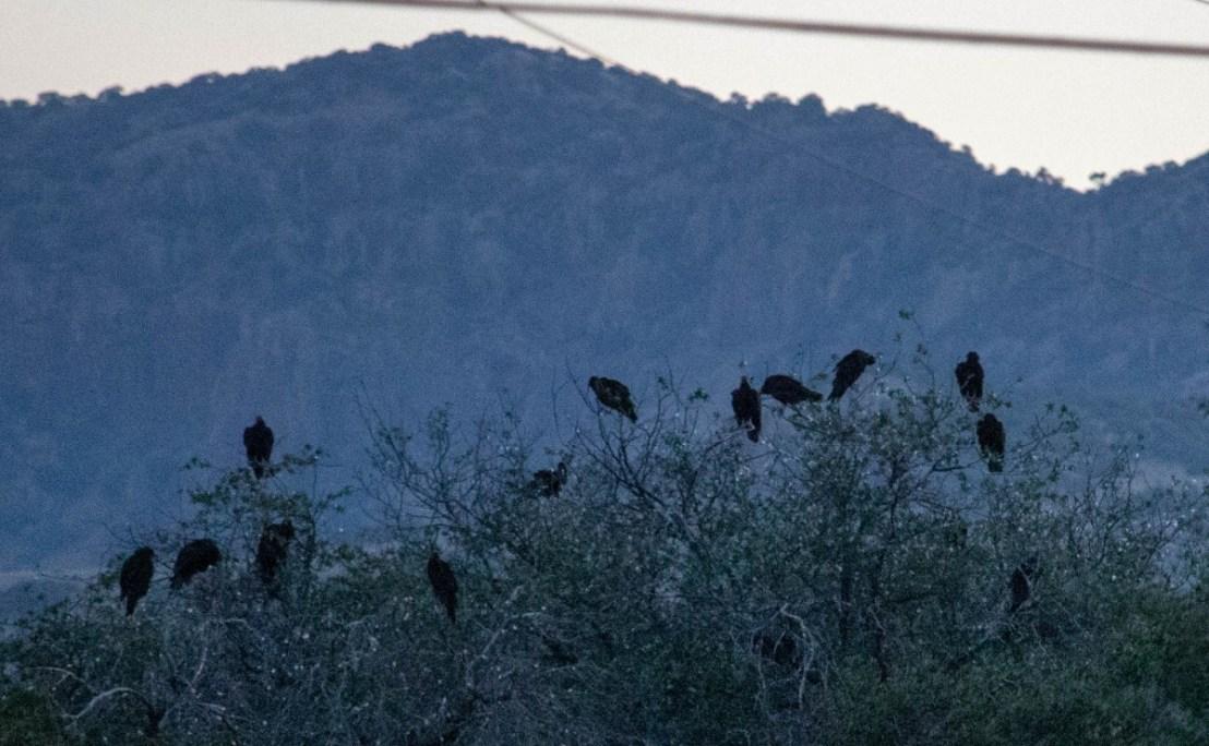 Roosting Kettle of Vultures
