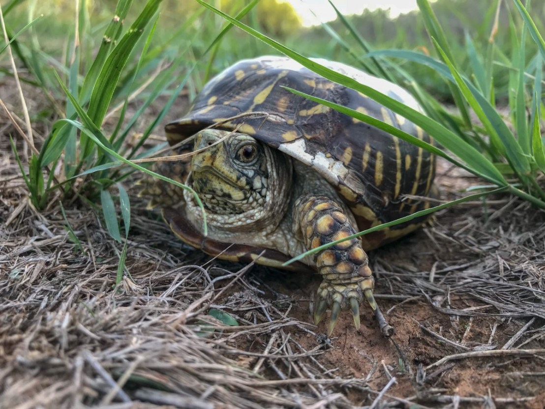 Box Turtle Hiding In Plain Sight On The Horse Trail