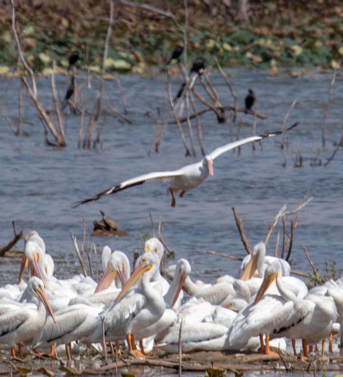 Migratory Water Fowl In Lake Arrowhead