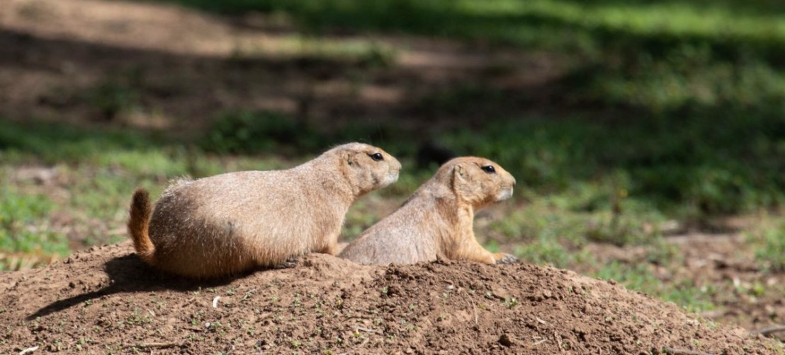 Two Prairie Dogs On Top Of Their Mound On Alert