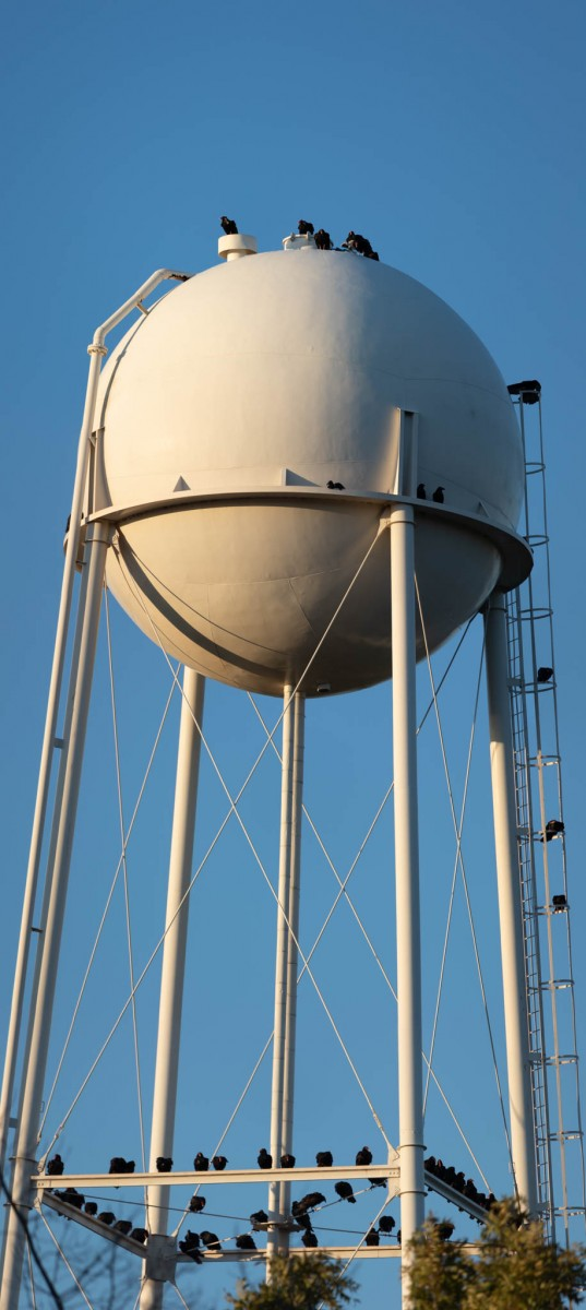 Committee of Roosting Vultures On Water Tower