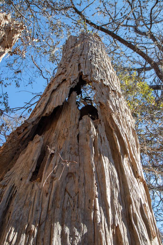 Cypress Tree Carcass