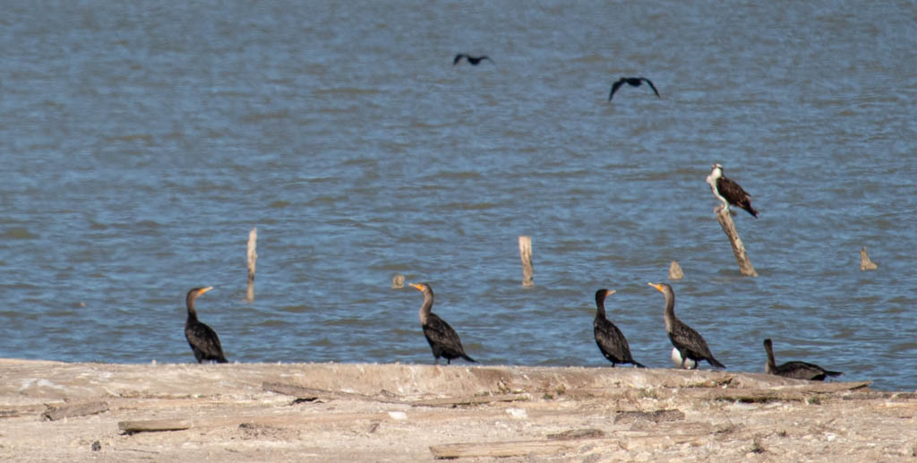 Cormorants Hanging Out On The Shore