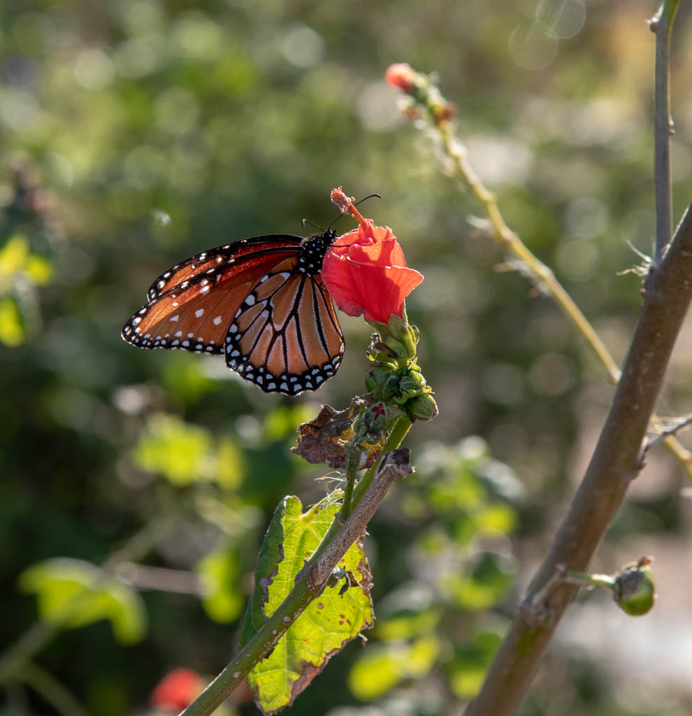 Native Plants Like Turk's Cap Attract Butterflies