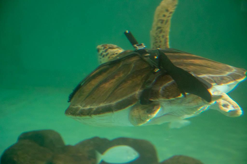 Legless Turtles Prosthetic Device For Swimming