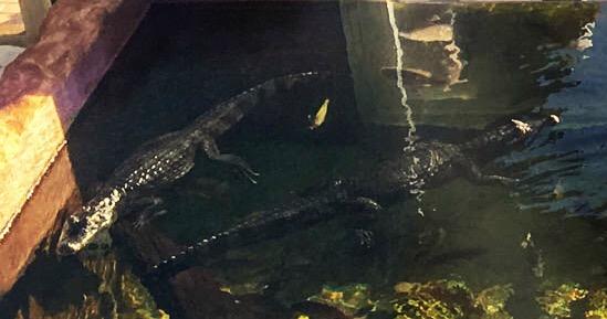 Crocodile (right) and Alligator (left)