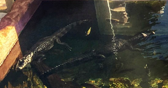 Crocodile (right) and Alligator (left)