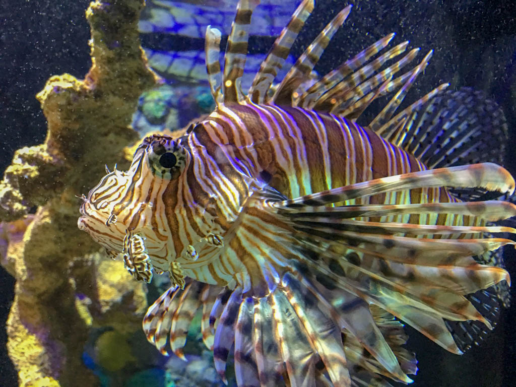 Lionfish - Non Native Invasive Species (Pest)